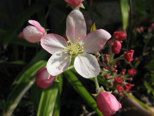 Crab apple blossom out
