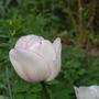 Tulipa_shirley_