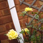 Patio_climbing_rose_laura_ford.