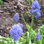 Muscari_blue_spike_