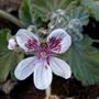 Erodium 'Sweetheart' (Erodium cicutarium (Alfileria))