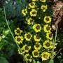 Erysimum alpinum 'golden gem'
