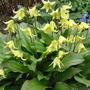 "Erythronium (Dog's tooth violet) 'Pagoda"" (Erythronium californicum (Dog's-tooth violet))"
