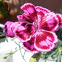 dianthus tropical butterfly