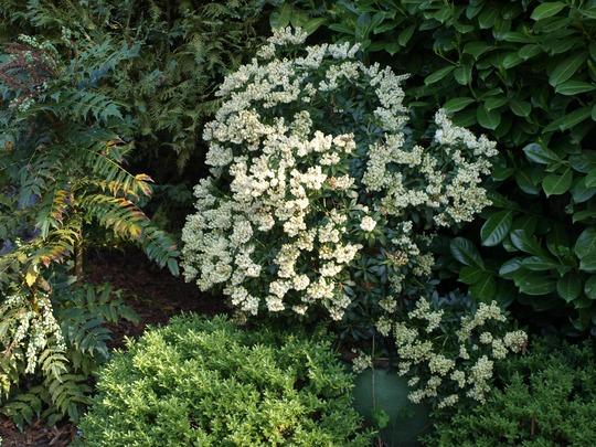 Pieris japonica (Lily-of-the-valley bush) (Pieris japonica)