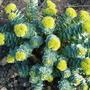 Rhodiola rosea (Kingscrown)