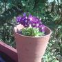 Primula_x_pubescens_deep_mrs_wilson_2