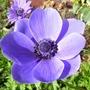 Blue anemone de caen (anemone de caen)