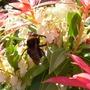 Pieris and bee (Pieris)