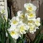 Narcissus Winston Churchill (Narcissus)