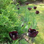 Tulipa Queen of the night (Tulip Queen of the night)