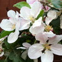apple blossom bunch