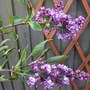 After 2 moves the Lilac has flowered at last must be happy now! (Syringa)