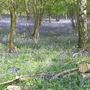 Bluebells at Barnsdale Wood, Rutland Water, UK