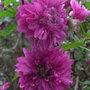 Rubus spectabilis 'Olympic Double' - 2011 (Rubus spectabilis 'Olympic Double')