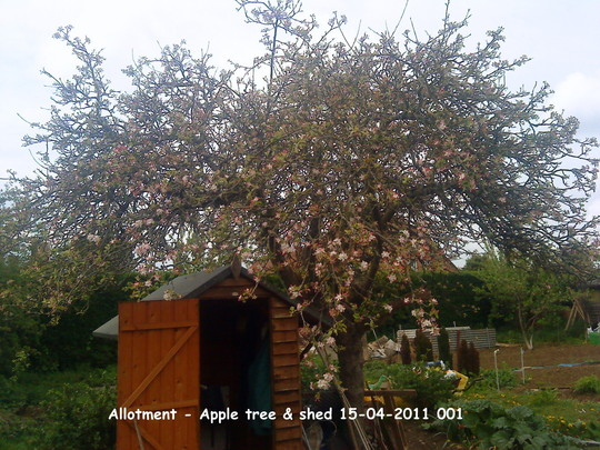 Allotment Apple tree shed 15-04-2011