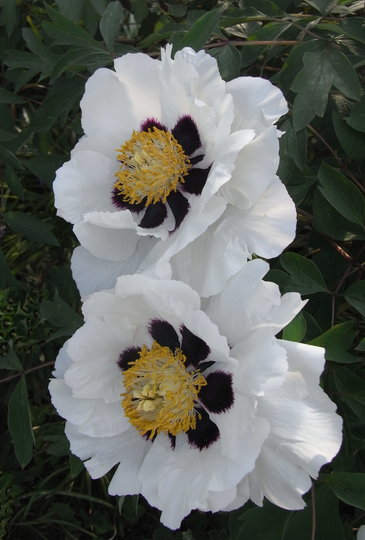 Paeonia rockii (close-up) - 2011 (Paeonia rockii)