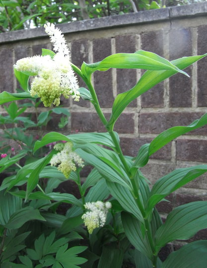 Maianthemum racemosum - 2011 (Maianthemum racemosum)