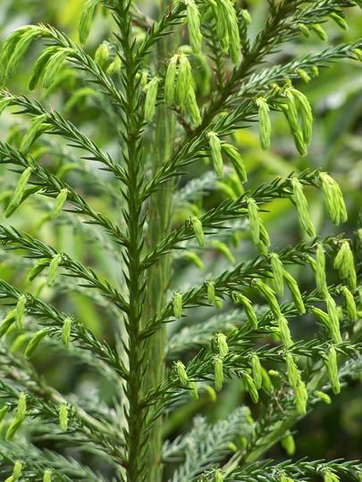 Spring growth (Cryptomeria japonica)