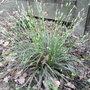 Ophiopogon_planiscapus_albovariegatus_2011