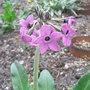Primula_chionantha_subsp_sinopurpurea_2011