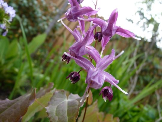 Epimedium Youngianum Roseum (Epimedium Youngianum)