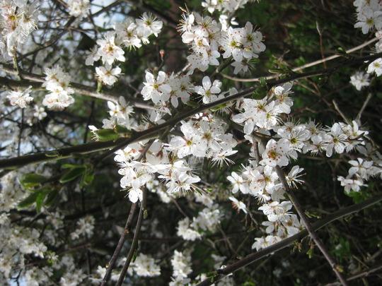 Prunus spinosa flowers