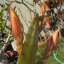 Epiphyllum hybrid (Epiphyllum hybrid)