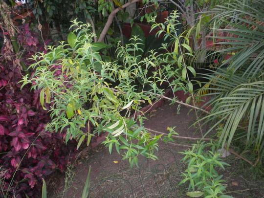 Aloysia citrodora - Lemon Verbena (Aloysia citrodora - Lemon Verbena)