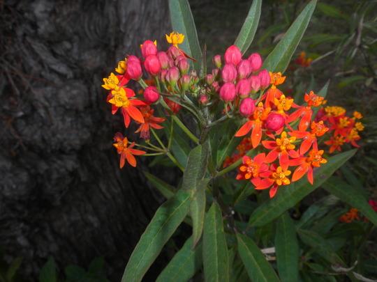 Asclepias tuberosa - Butterfly Plant  (Asclepias tuberosa - Butterfly Plant)
