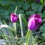 Tulipa_passiionale_