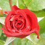 Red Rose and raindrops.