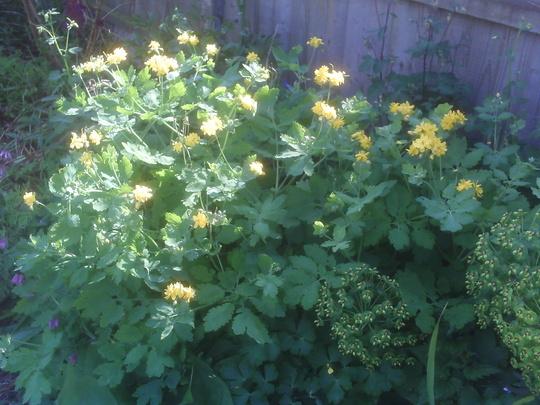 Greater Celandine (Chelidonium majus 'Flore Pleno')