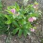 hellebore (Helleborus foetidus (Hellebore))