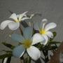 Plumeria obtusa 'Singapore'  - Singapore Plumeria (Plumeria obtusa 'Singapore'  - Singapore Plumeria)