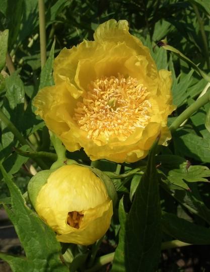 Paeonia lutea (Paeonia lutea)