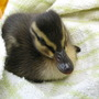 Daffy is rescued