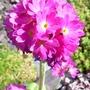 Pink drumstick primula (Primula denticulata (Drumstick primula))