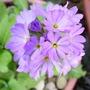 Lilac drumstick primula (Primula denticulata (Drumstick primula))