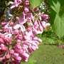 Lilic buds (syringa)