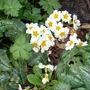 Self-seeded primroses (Primula vulgaris (Native primrose))