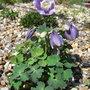 Aquilegia flabellata var pumila - 2011 (Aquilegia flabellata var pumila)