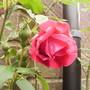 Climbing Rose 'Paul's Scarlet' 1st Bloom 06.08 (Rosa multiflora (?) climber 'Pauls' Scarlet')