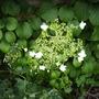 Hydrangea Petiolaris [Climbing Hydrangea] Bloom 06.08 (Hydrangea petiolaris   (Vistabile))