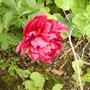 Paeony's first bloom 06.08 (Paeonia lactiflora)