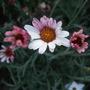 Rhodanthemum_tangier_