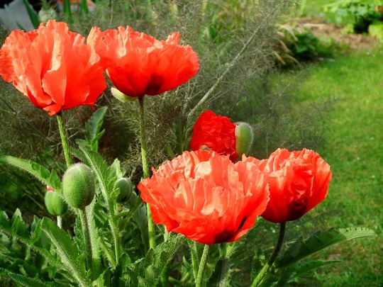 Easter Poppies (Papaver orientale (Oriental poppy))