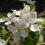 Apple Blossom Is Here :)