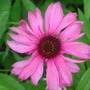 Echinacea_bloomtemp_006