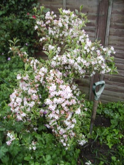 Variegated Weigela 06.08 (Weigela florida variegata)